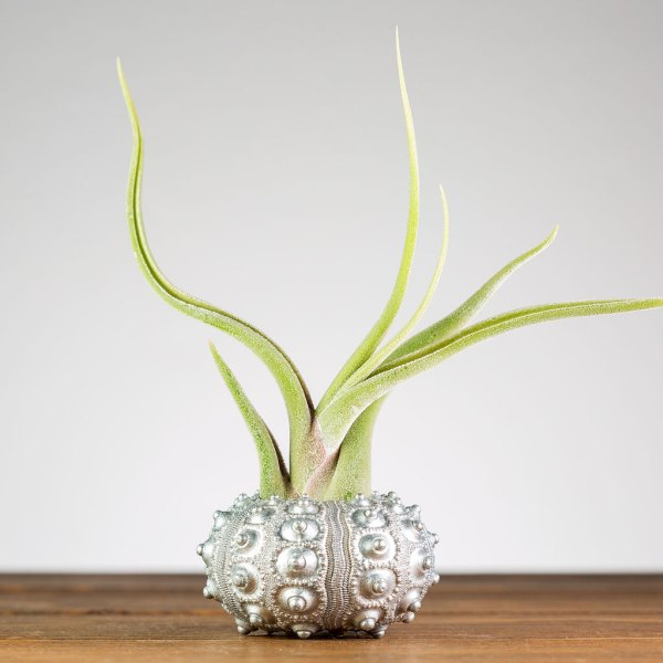 Silver Sputnik Urchin Air Plant Display