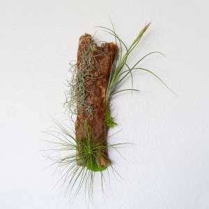 Air Plant Driftwood Wall Hanging
