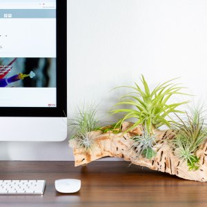 air plant grapewood display