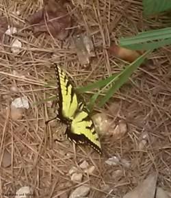 17butterfly