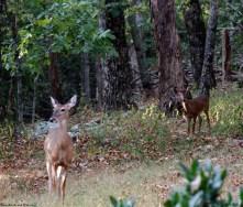Deer at Cheaha