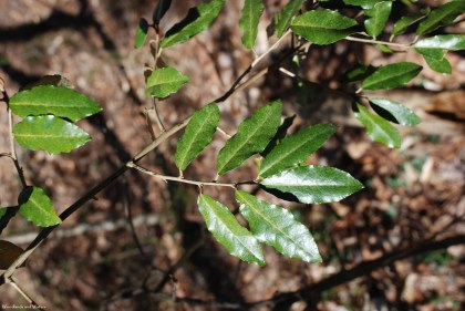 Thorny olive leaves