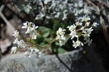 57early_saxifrage