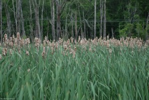 37cattails