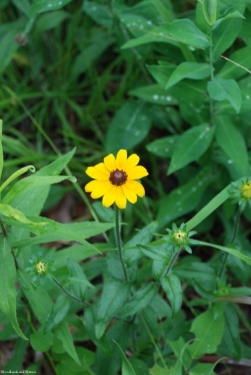 09black_eyed_susan