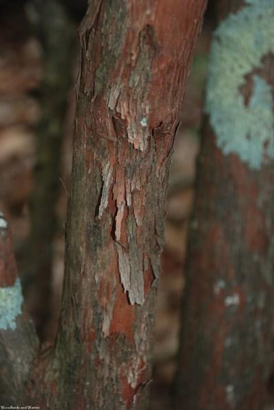 Sparkleberry bark