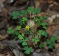 Common yellow wood sorrel