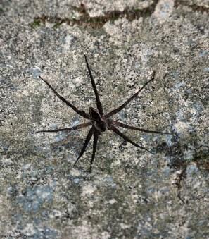 44giant_spider