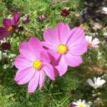 Woodlands Cosmos Garden