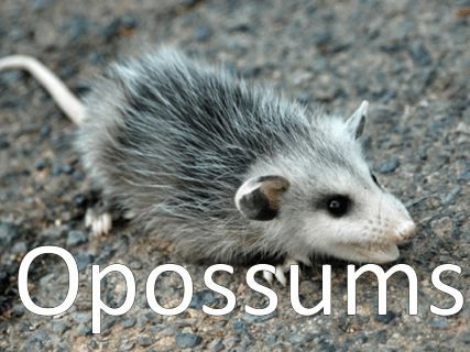An image of an opossum