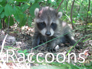 An image of a raccoon