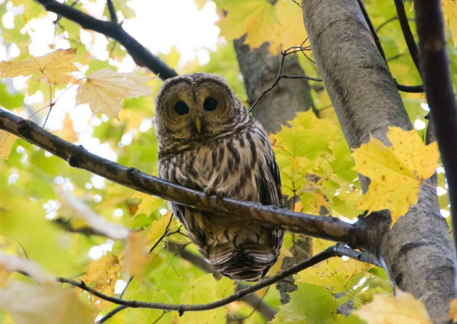 Barred Owl sitting on a tree branch looking downwards