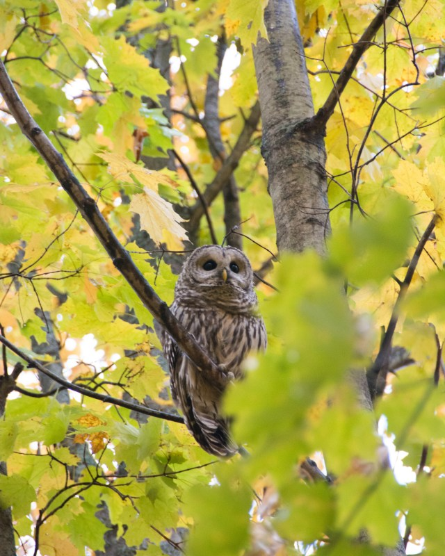 Barred owl looking up