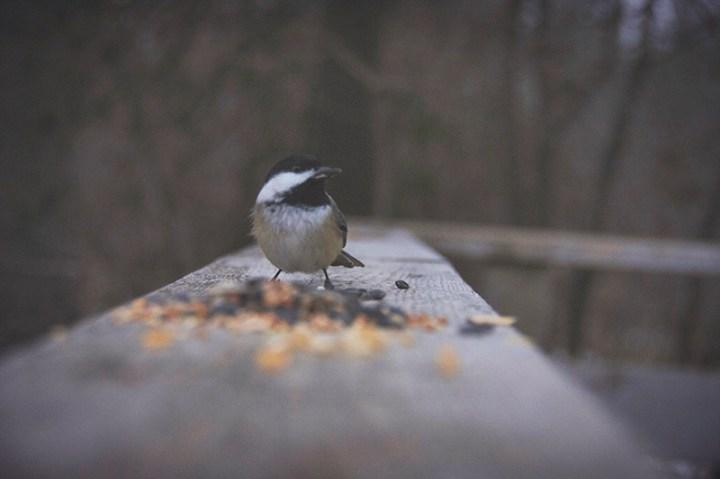 Chickadee sits on a fence near a pile of seeds