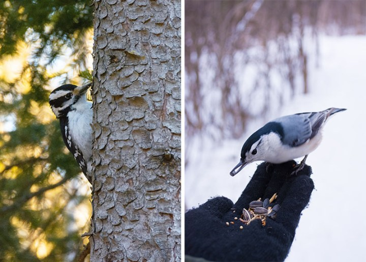 Picture of a woodpecker on the left and a nuthatch eating from someone's hand on the right.