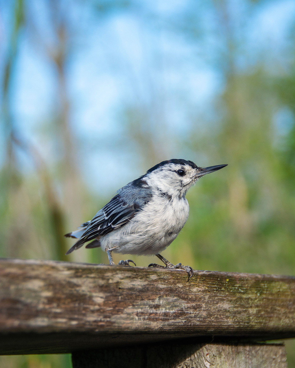 Nuthatch rests on a fence post