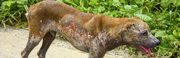 pet dermatology concerns pet skin diseases like scabies (sarcoptes scabiei)
