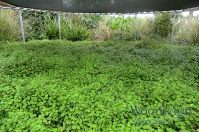 Fuchsia procumbens (creeping fuchsia)