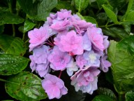 Hydrangea macrophylla Together (PVR)