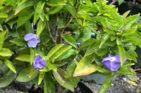 Brunfelsia Tiny Dancer