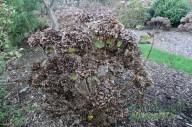 Hydrangea Pruning Unpruned