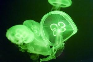 bioluminescence meduse strasbourg alsace Woodlight greenovation luminescence bioluminescence plante arbre végétaux luminescent éclairage alternatif végétal vert lumineux lumière luciole fluoresente autoluminescence balisage balise innovation génétique biotechnologie appliquées Recherches & Développement R&D Biomimétisme Cultivons la lumière de demain Biolumière luciférase ville futur écologique écologie avenir aménagement durable bioéclairée urbain surconsommation énergétique solution verte innovation végétalisation urbaine biotech vertes réduction énergétique Développement durable Dépollution Plantes dépolluantes Lampadaire végétal électricité verte décoration originale design évènementiel startup