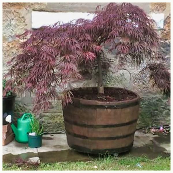 half barrel planter glasgow lanarkshire