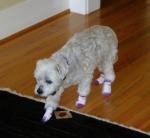 Dog Sock Wearer