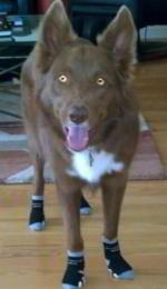 Beau the Border Collie Kelpie Mix wears Dog Socks