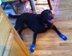 Daisey Wears Powers Paws on Wood Floors