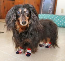 Hallie, a long-haired dachsund, wears Power Paws dog socks.