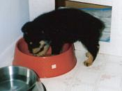 Woodrow in a food dish as a puppy.