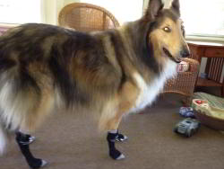 Collie Taz Wears Greyhound Style Power Paws Socks
