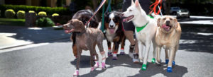 Big dogs and little dogs out for a walk.
