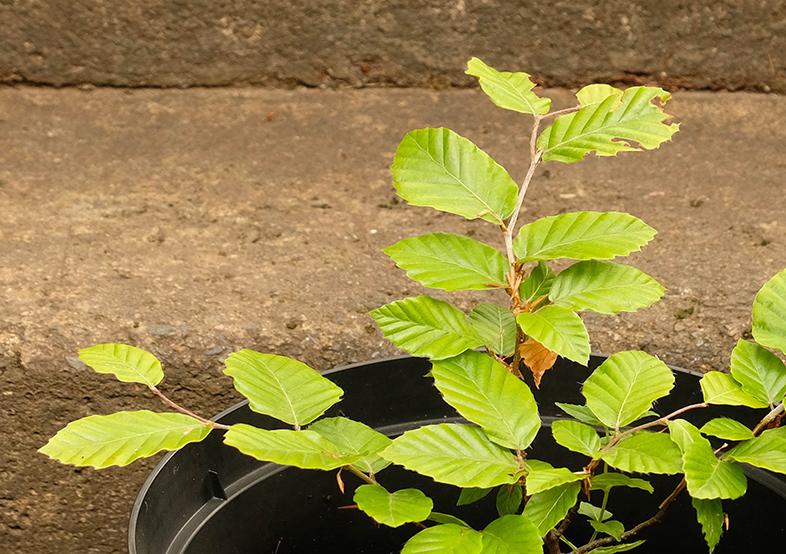 Beech seedling, first year