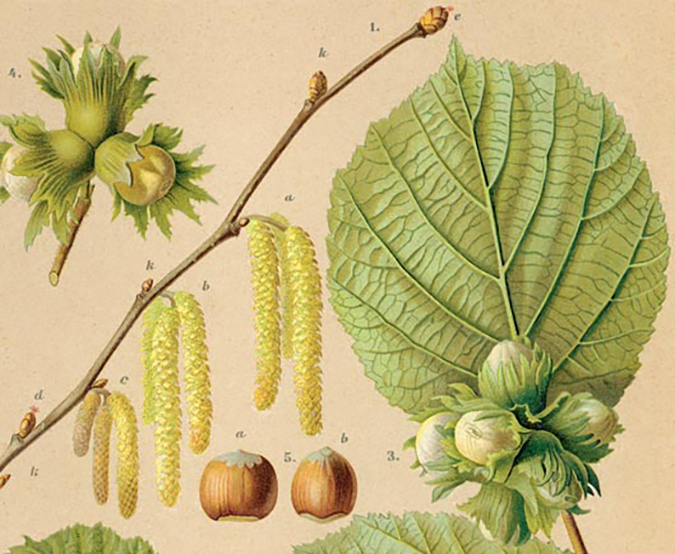 Hazelnut twigs and leaves with unripe (green) and ripe nuts