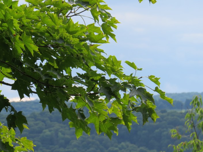 Leafy branch against horizon, from in the tree