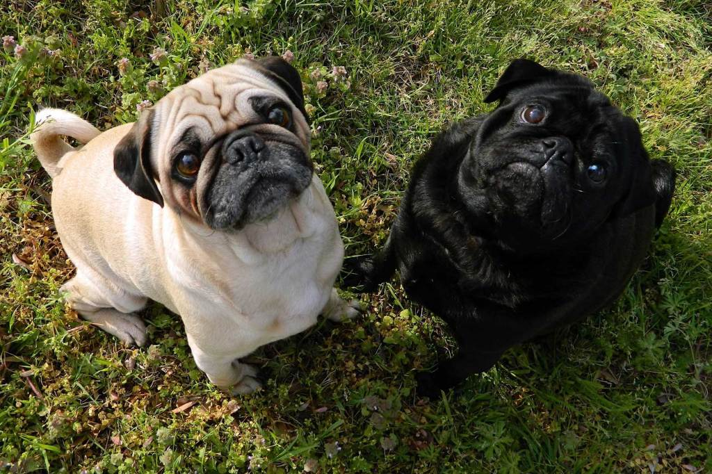 Cute pugs gazing up at you