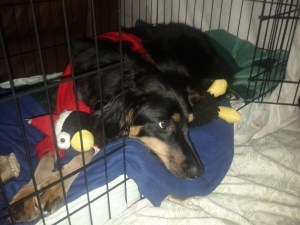 Tilley in her crate with pingu