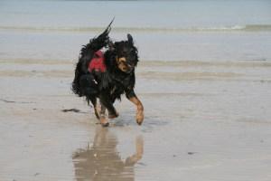 ruffwear webmaster harness on beach