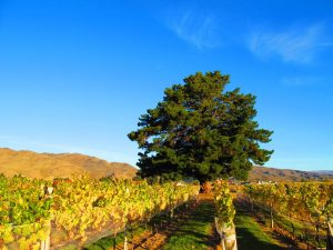 About Wooing Tree Vineyard