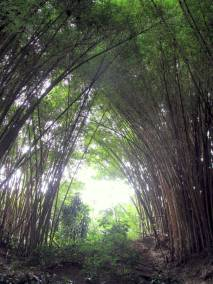 Huge stands of bamboo.