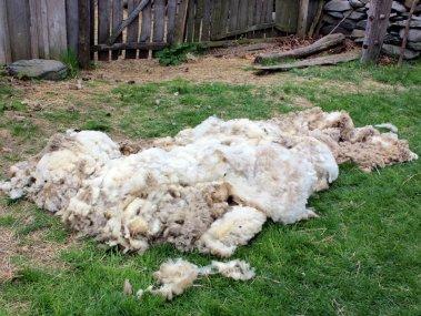 Shorn wool