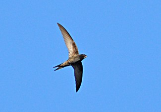 SWALLOW OVERHEAD GOOD LIGHT E