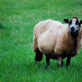 Torddu Sheep, (c) Melanie Major, CCBYSA