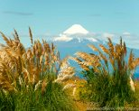 Osorno through amber waves of grain