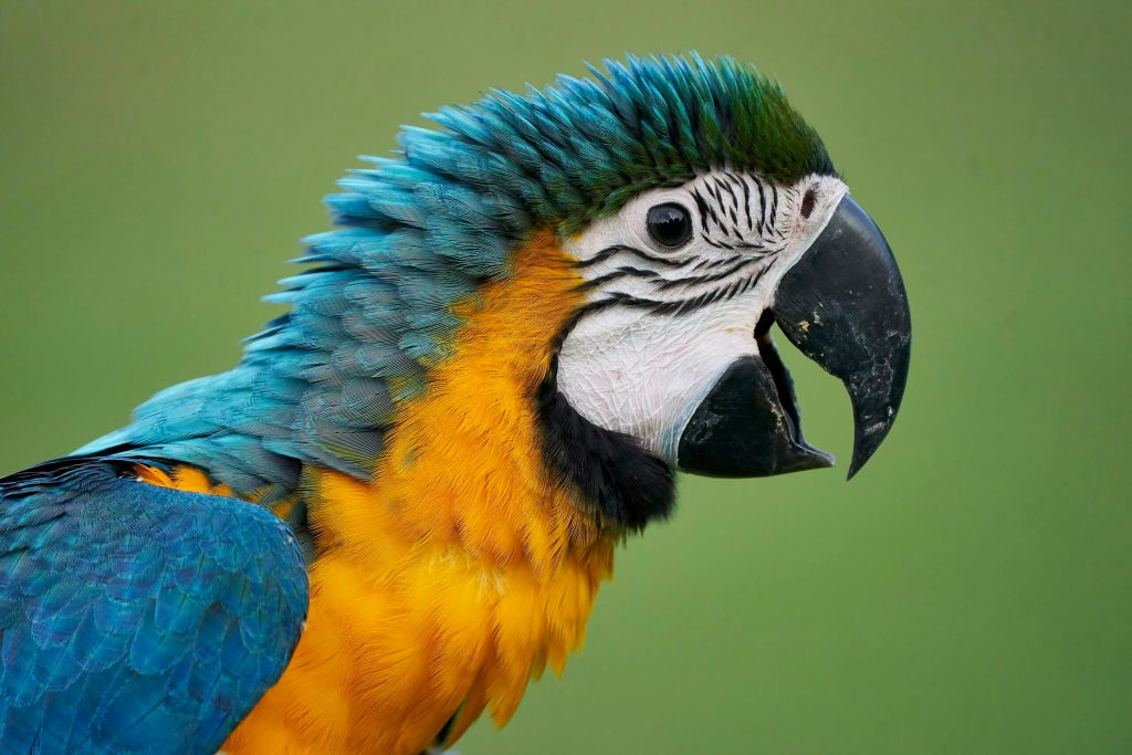 Rainbow the Blue & Gold Macaw