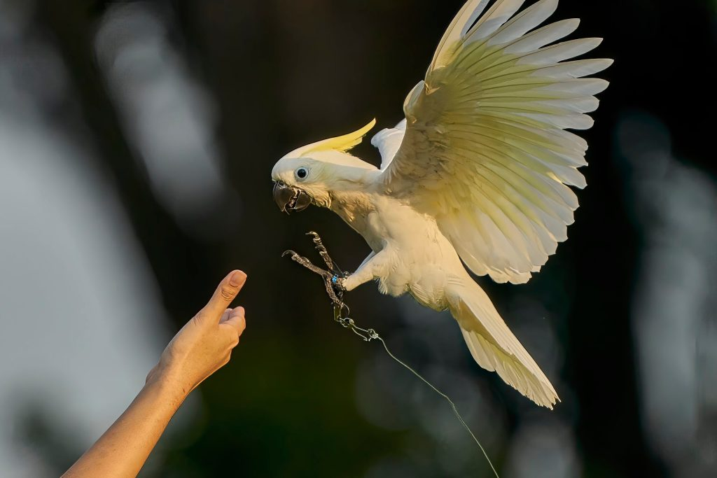 Roxy the Sulphur Crested Cockatoo