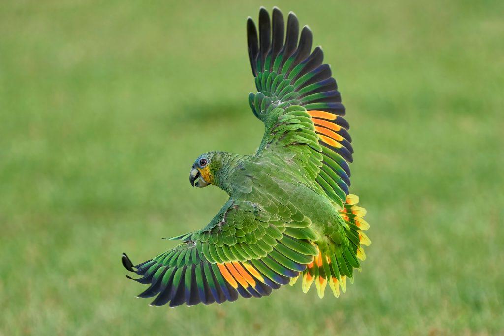 Olive the Orange Winged Amazon