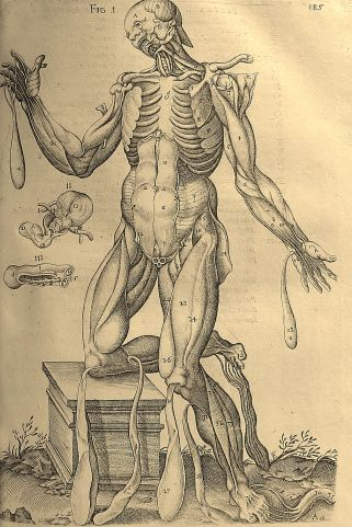 Drawing from an Anatomical textbook by Ioannis Schoneri (1561). Image copyright the Dean and Chapter of Worcester Cathedral (UK)